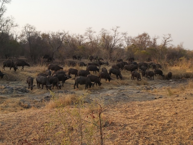 Cape Buffalo grazing on the Victoria Falls Private Game Reserve, Zimbabwe