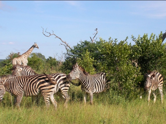 Zebra and giraffe seen on the Victoria Falls Private Game Reserve in Zimbabwe