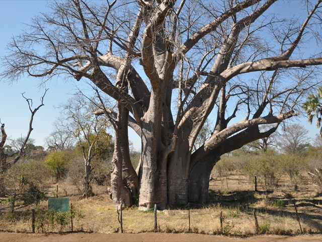 The Big Tree in Victoria Falls National Park