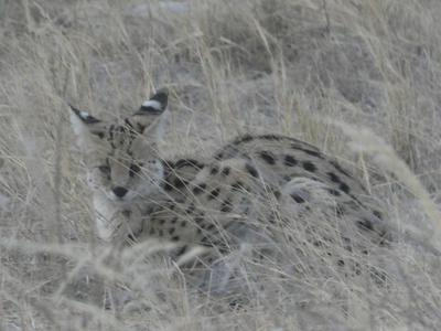 Cerval spotted in Hwange