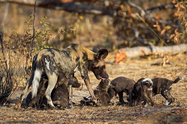 African wild dog with pups in Hwange National Park, Zimbabwe