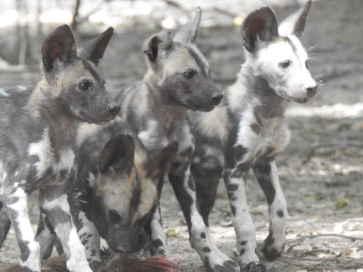 African wild dog pups in Mana Pools national Park in Zimbabwe