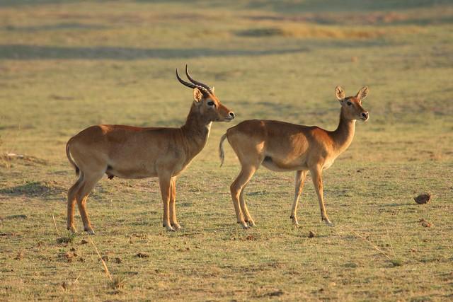 Puku antelope found in Southern Africa