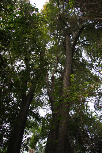 Ebony tree in the Victoria Falls Rainforest
