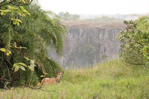 Bushbuck at Victoria Falls Rainforest