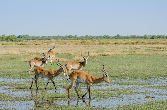 Lechwe antelope found in Southern Africa