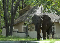 The elephants at Sable Sands lodge - accommodation in Hwange