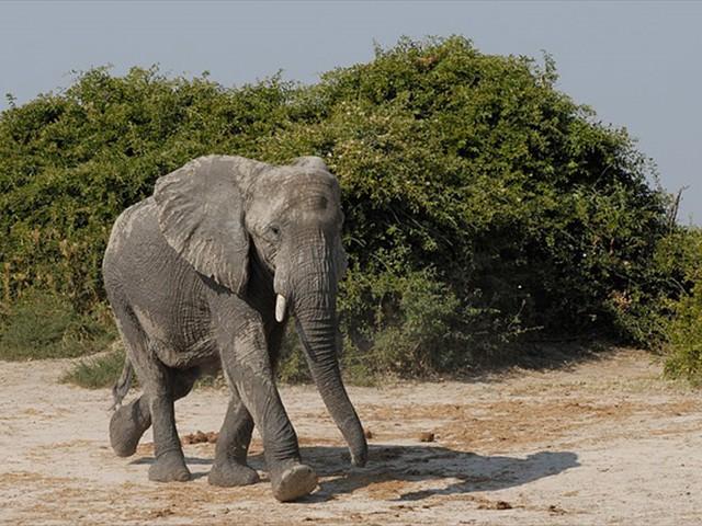 Elephant in the Savute area