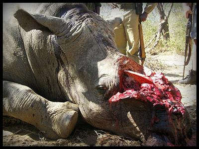 Tragic and brutal slaughter of a Rhino