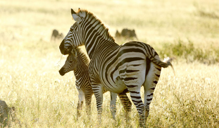 Zebra and foul in Hwange National Park, Zimbabwe