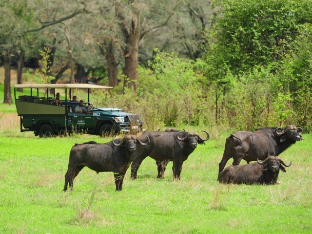 Buffalo on a game drive at the Stanley & Livingstone reserve - Victoria Falls, Zimbabwe