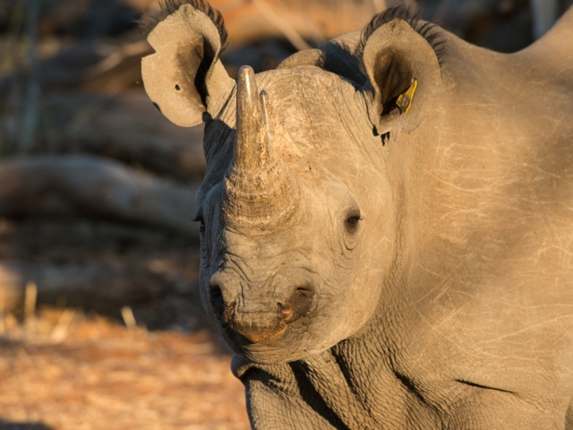 African rhino species in Zimbabwe
