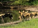 Wild dogs by the pan