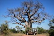 Big Tree on Zambezi Drive, Victoria Falls, Zimbabwe