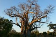 Big Tree, Victoria Falls, Zimbabwe