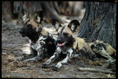Update From Painted Dog Conservation likewise Loc8tor Pet Dog And Cat Tracking Device moreover Product Detail Listing 3010998814 besides Kr600ae Replacement Industrial Grade 23a 1000mah Nimh Cylindrical Battery furthermore Acer Dr35 Dr35s. on gps dog collar reviews html