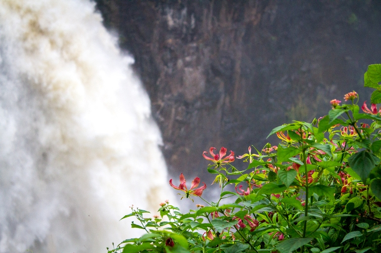 Flame Lilly at the Victoria Falls