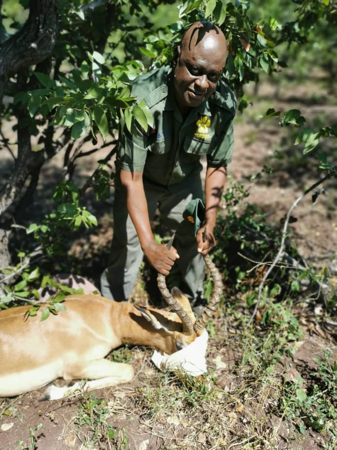 Anti-poaching ranger taking care of a wounded buck