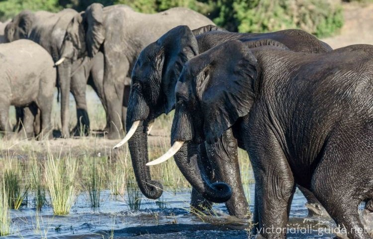 African Elephants in Zimbabwe