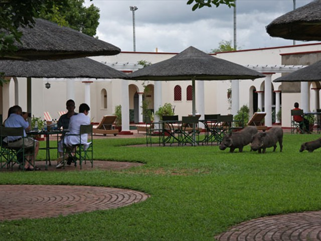 Warthogs seen by the pool