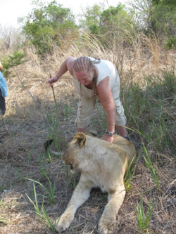 Rubbing the belly of the Lion