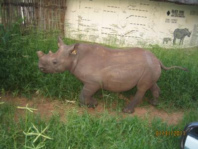 #54 Rhino