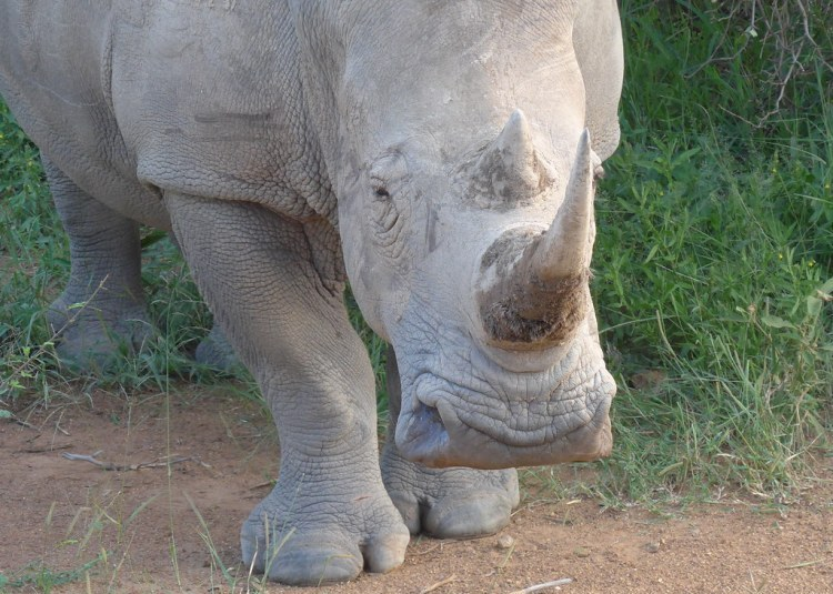 Square-lipped white rhino - the tamer side of the rhino family