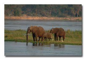 Elephant on the Zambezi River