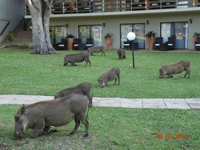 Warthogs grazing in front of bedroom