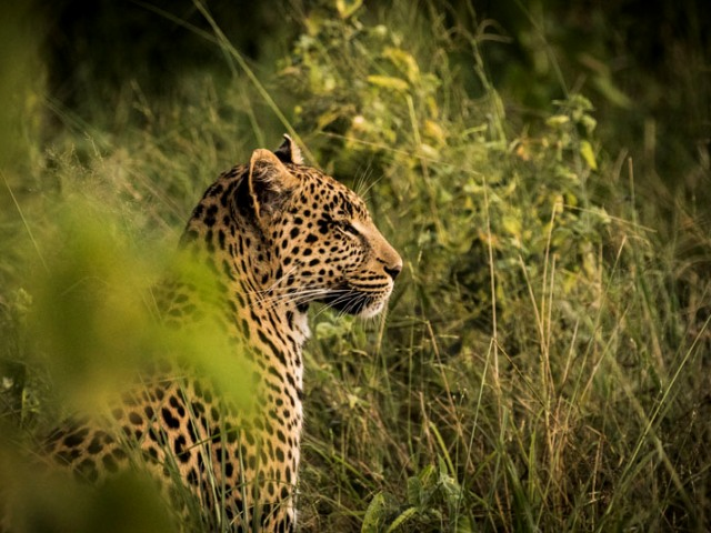 African leopard - animals of Africa