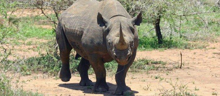 The Big Five - Black rhino