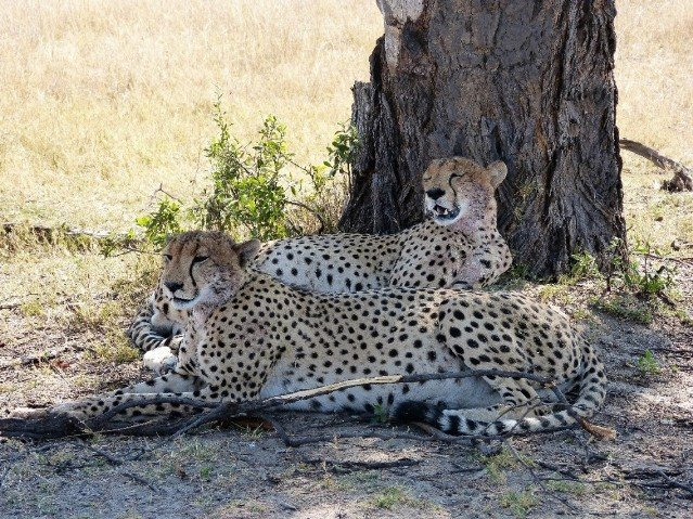 Cheetah resting under a shady tree in Hwange National Park, Zimbabwe