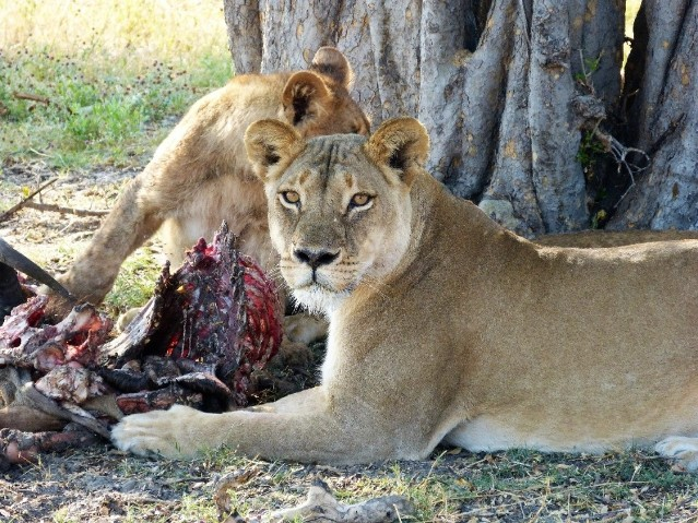 Lions sharing lunch in Hwange National Park, Zimbabwe