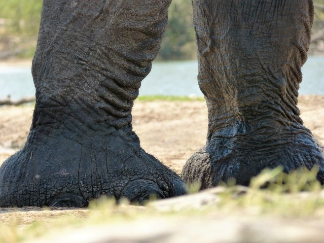 The African Elephant seen from ground level