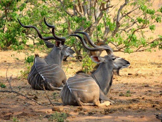 Kudu resting under the shady trees