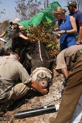 De-Horning Rhino ( Courtesy IAPF)