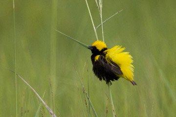 Yellow crowned Bishop