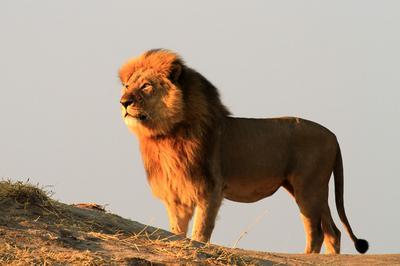 Jericho The Lion; Credit Chris Collyer