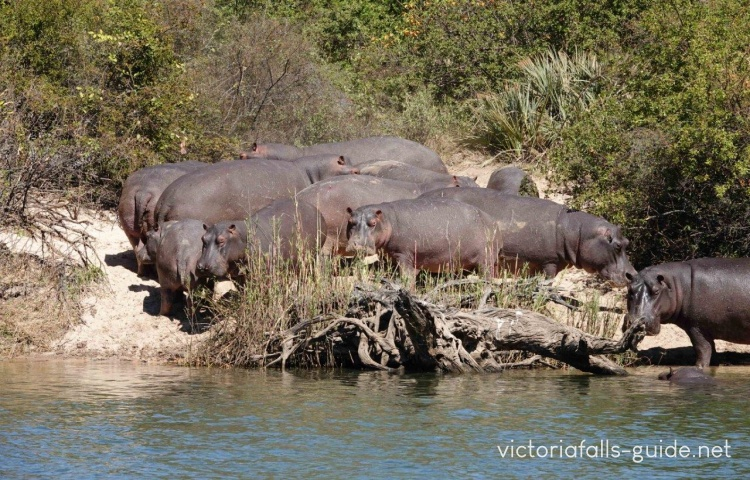 Hippos on the banks of the Zambezi River above the Victoria Falls