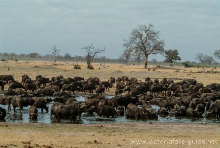 Hwange waterhole teaming with wildlife
