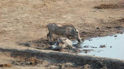 Warthogs cooling off