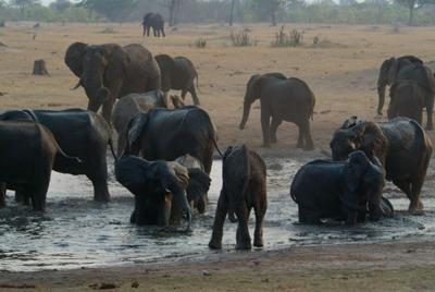 Water is a scarce and vital commodity for these Elephant