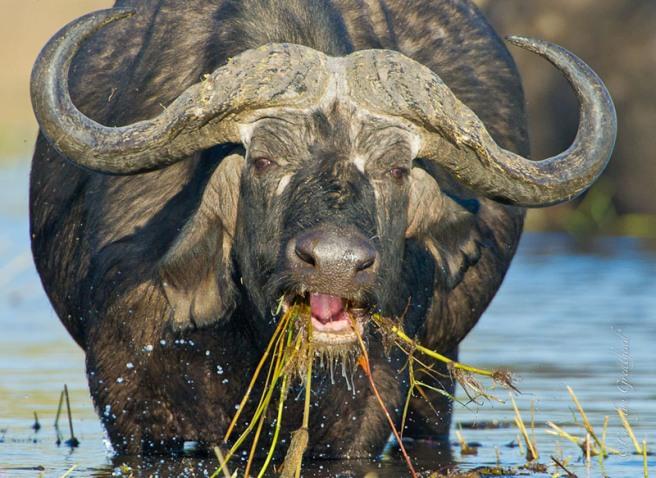 Cape buffalo in Zambezi National Park near Victoria Falls, Zimbabwe