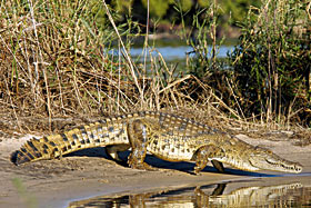 A crocodile at the Spencer Creek Crocodile Farm