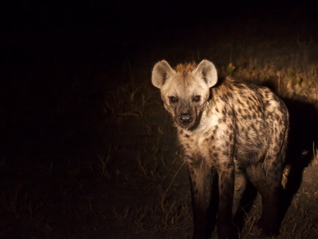 Hyena seen on a night drive in Khwai, Botswana