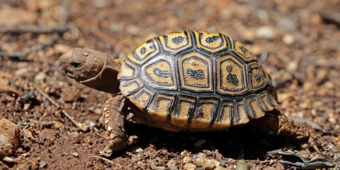 Leopard Tortoise (photo by Sharp Photography)