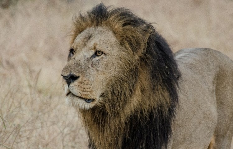 The African Lion - the continent's biggest cat