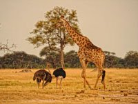 Game drive in Hwange National Park with Somalisa Camp, Zimbabwe