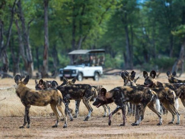 Painted dogs in Mana Pool