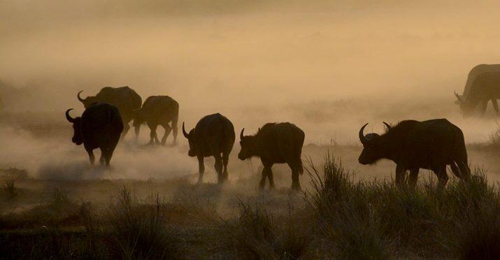 Buffalos in Hwange